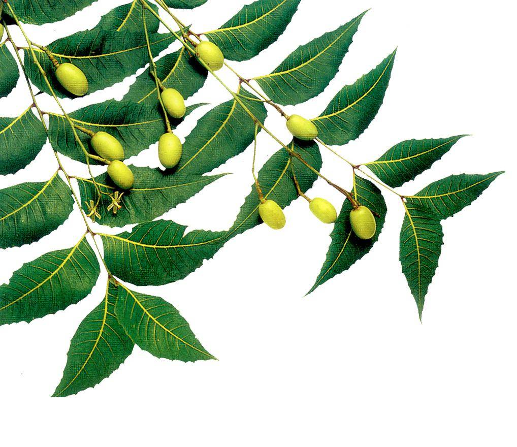 Neem Is A Blessing For Your Skin And Hair!